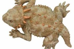 Horny Toad - 50244